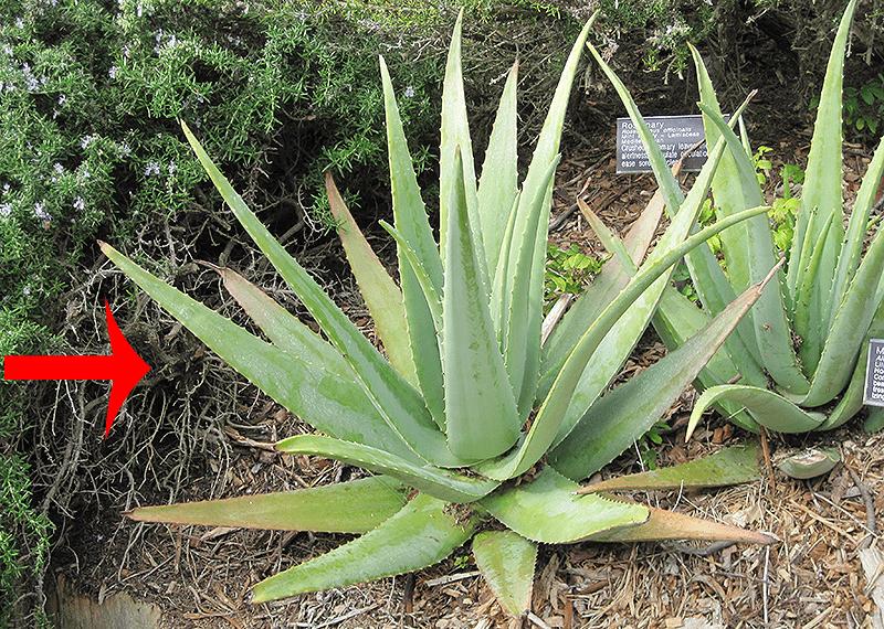 10 Propiedades Curativas Y Beneficios De La S 225 Bila O Aloe