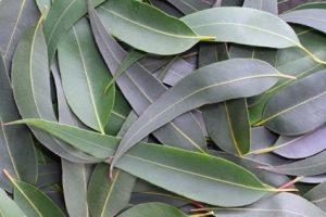 Propiedades del eucalipto, otros