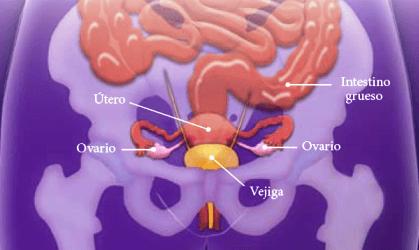 Los ovarios están asociados a la feminidad y a la maternidad