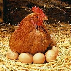 huevos-gallina-encima