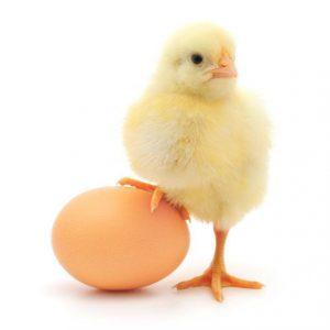 pollito-parado-en-un-huevo