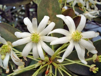 canelo-planta-medicinal