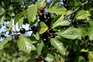 plantas-medicinales-6-frangula