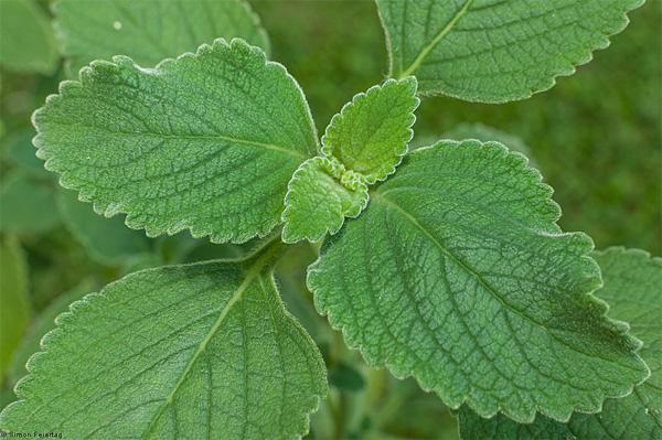 plantas-medicinales-boldo