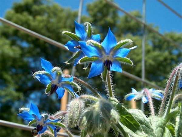 plantas-medicinales-boraje