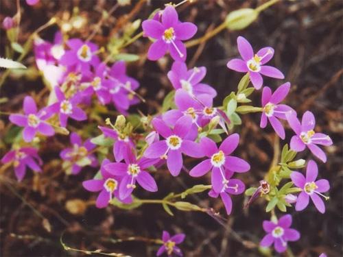 plantas-medicinales-chachangalua