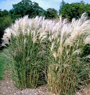 plantas-medicinales-hierba-de-plata