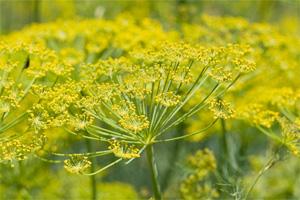 plantas-medicinales-hinojo