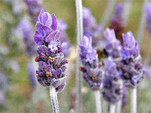 plantas-medicinales-lavandula