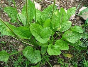 plantas-medicinales-llanten