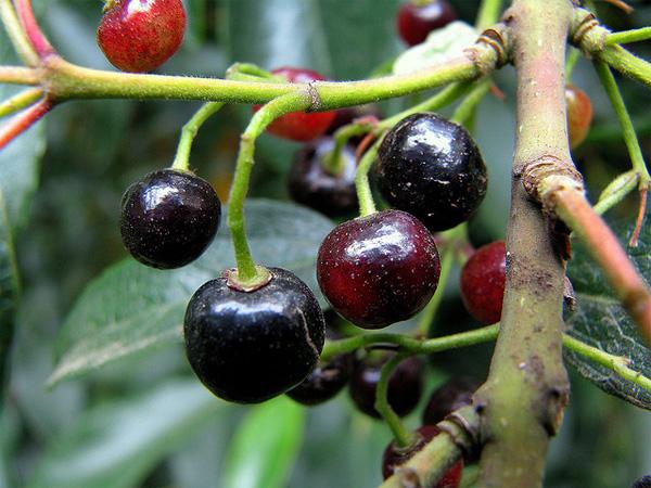 plantas-medicinales-maqui