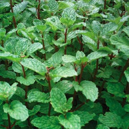 plantas-medicinales-menta