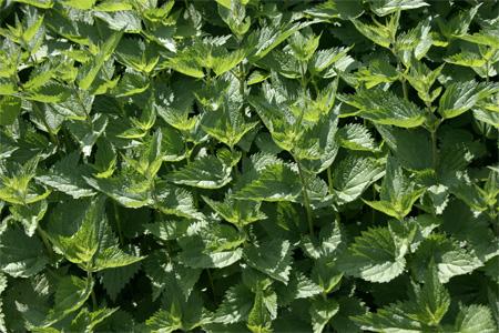 plantas-medicinales-ortiga