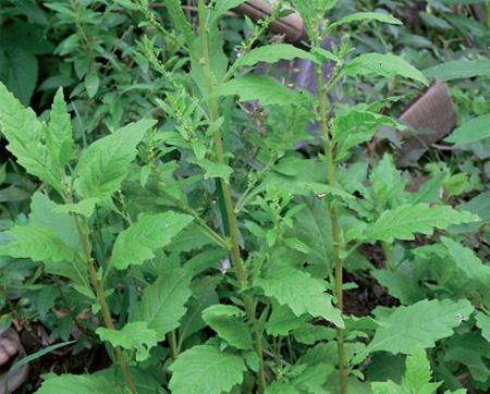 plantas-medicinales-paico