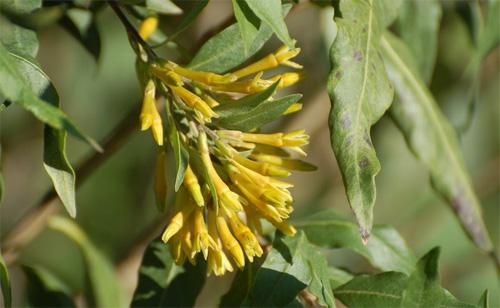 plantas-medicinales-palqui