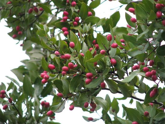 plantas-medicinales-peumo