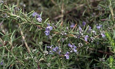 plantas-medicinales-romero-castilla