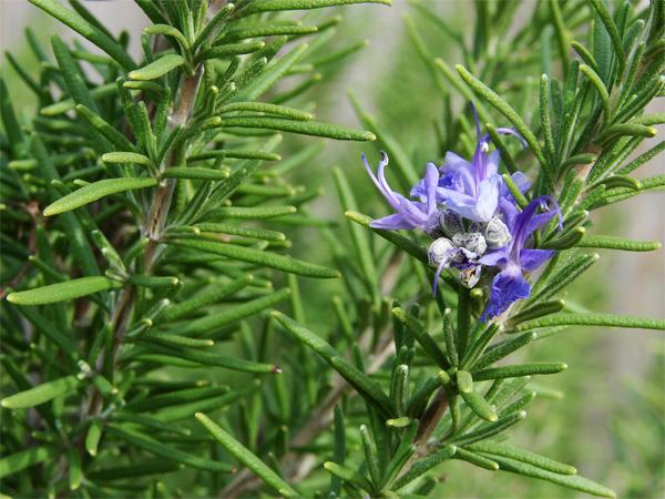 plantas-medicinales-romero