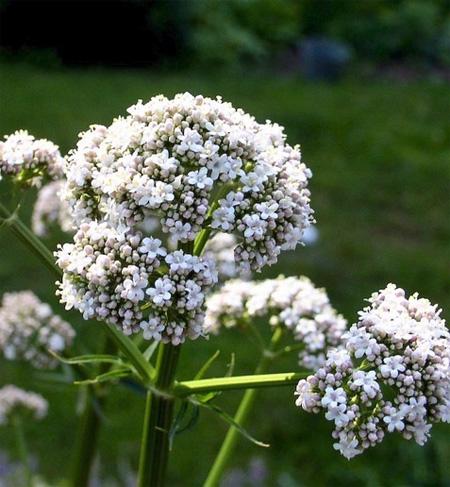 plantas-medicinales-valeriana