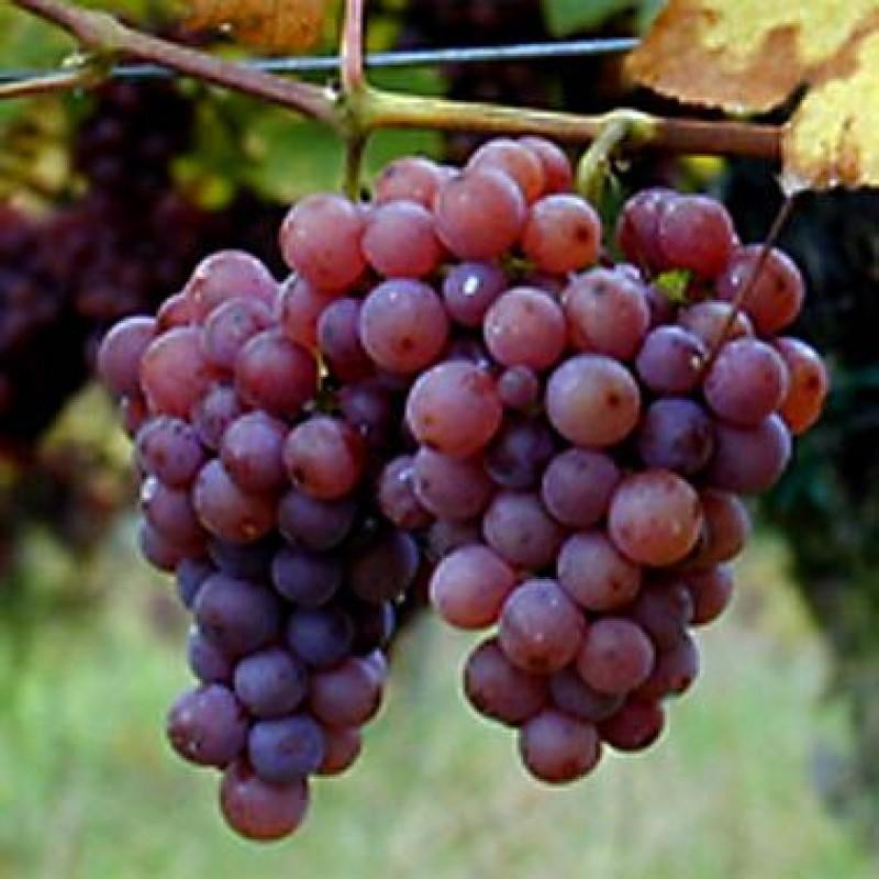 Аликанте сорт винограда цена