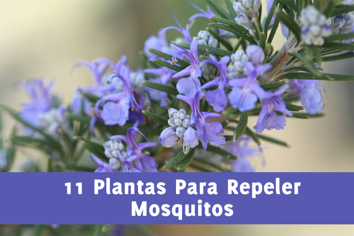 11 plantas que repelen mosquitos la gu a de las vitaminas - Como ahuyentar mosquitos ...