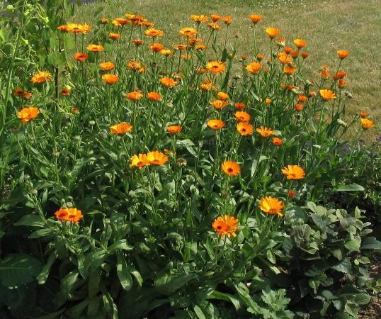 plantas que repelen los mosquitos-calendula