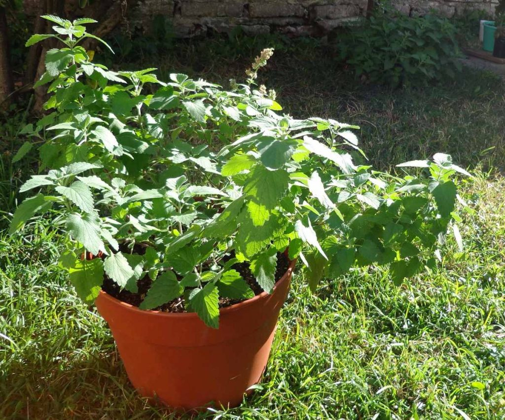 plantas que repelen los mosquitos-hierba gatera