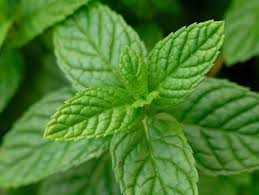 plantas que repelen los mosquitos-menta