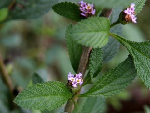 plantas que repelen los mosquitos-poleo