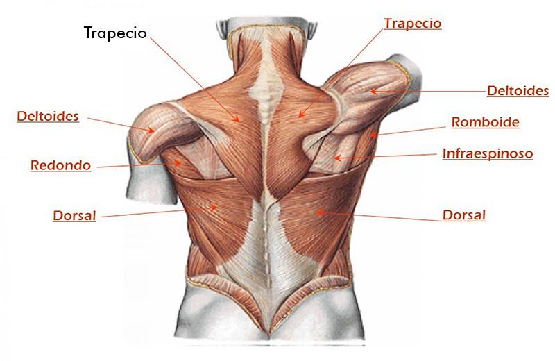 Los mejores ejercicios de espalda la rutina definitiva para una espalda gruesa y ancha la - Cuales son las mejores almohadas para las cervicales ...