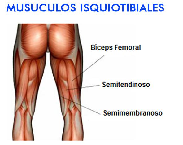 Que son músculos en la ingle - El Cuerpo Humano - LOS MUSCULOS