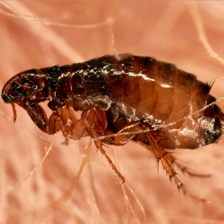 C mo eliminar las pulgas de tu hogar y mascotas la gu a - Como erradicar las pulgas ...