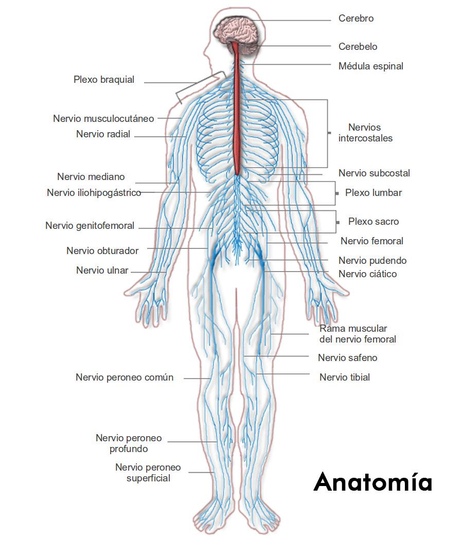 Contemporáneo Nervios Anatomía Back Cresta - Anatomía de Las ...