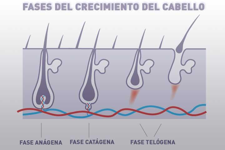 Fases-del-crecimiento-del-cabello - La Guía de las Vitaminas