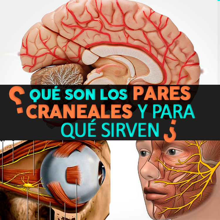 Los 12 Pares Craneales: Cuáles Son Y Sus Funciones - La Guía de las ...
