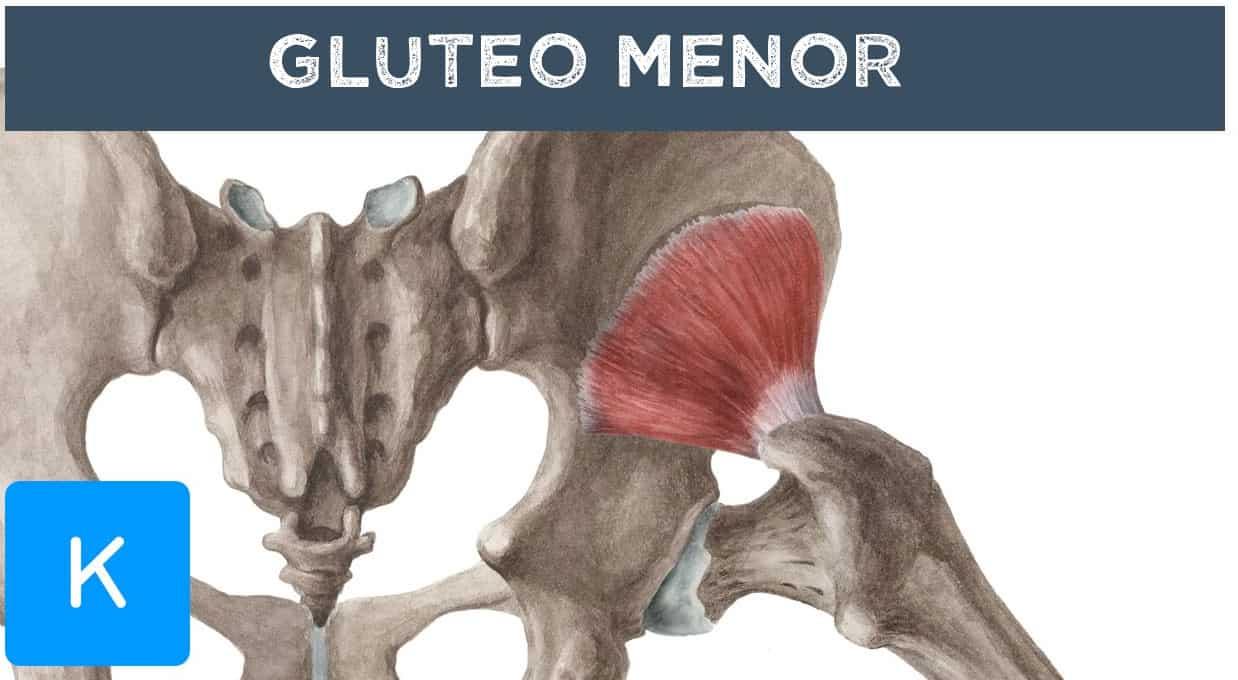 Músculos Del Glúteo: Anatomía Y Cómo Trabajarlos - La Guía de las ...