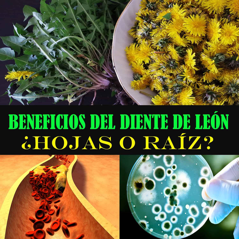Beneficios de la Raíz del Diente de León Y Sus Hojas: La Comparativa ...